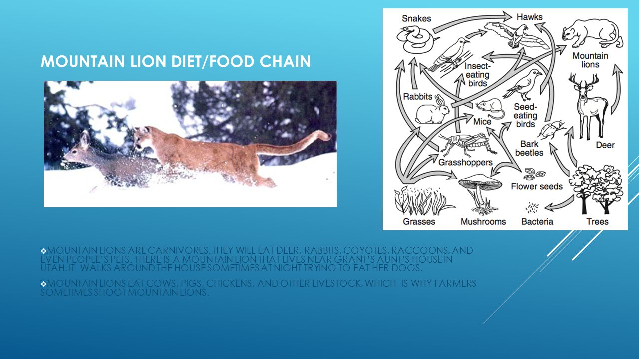 MOUNTAIN LION DIET/FOOD CHAIN