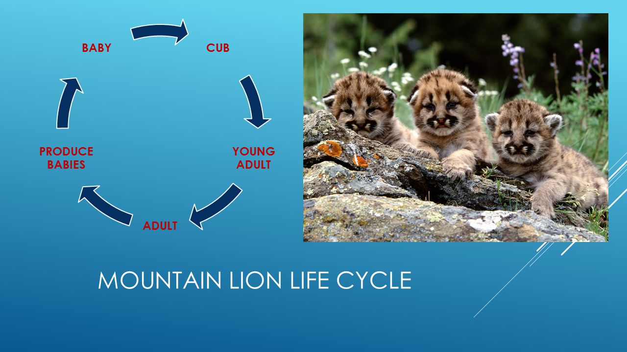 MOUNTAIN LION LIFE CYCLE