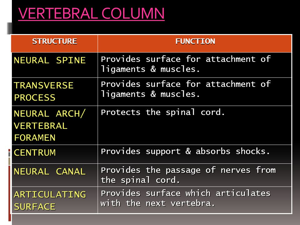 VERTEBRAL COLUMN NEURAL SPINE TRANSVERSE PROCESS