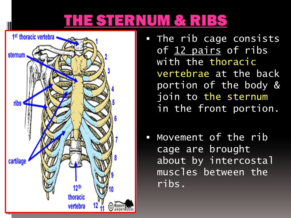 THE STERNUM & RIBS