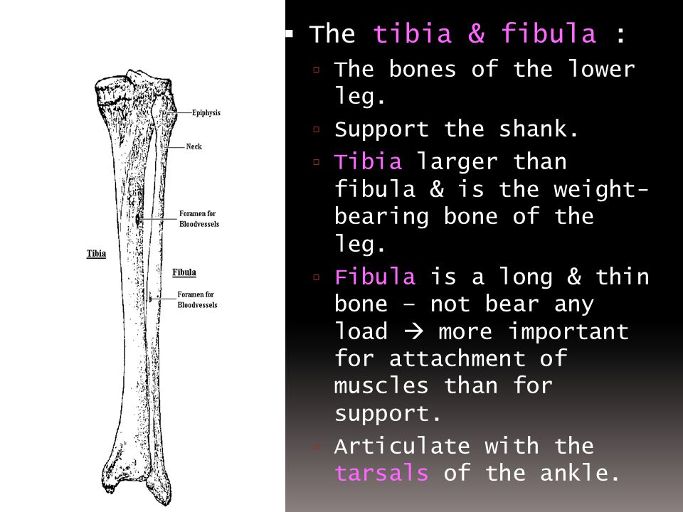 The tibia & fibula : The bones of the lower leg. Support the shank.