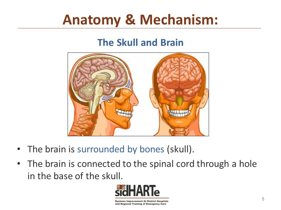 Brain and skull anatomy 1742062 - follow4more.info