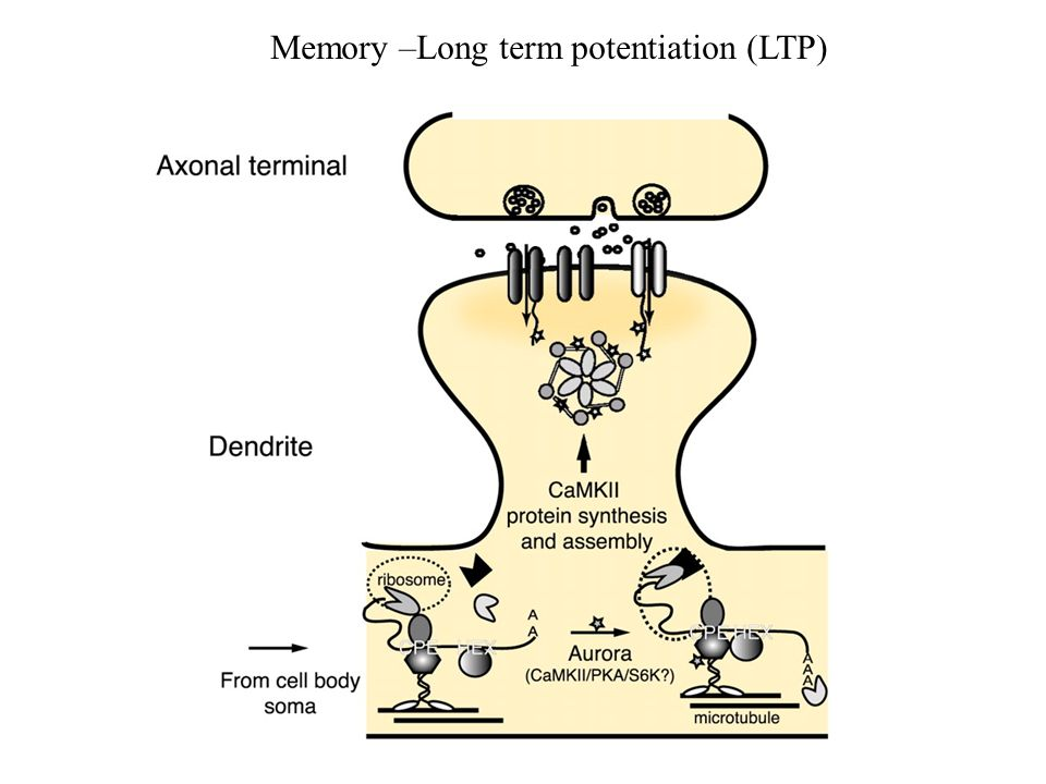 Memory –Long term potentiation (LTP)