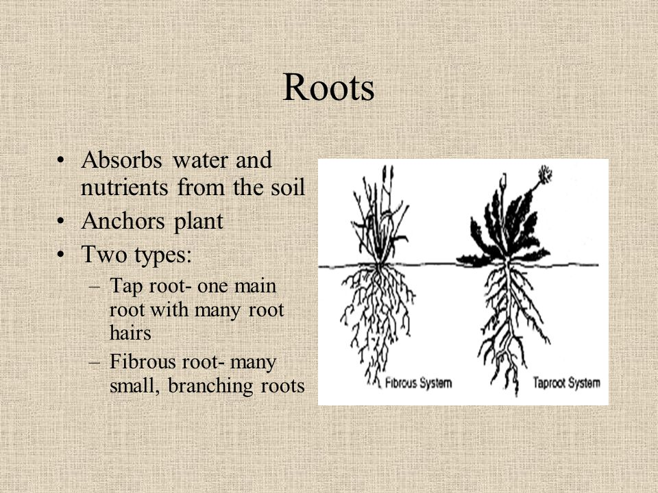 Roots Absorbs water and nutrients from the soil Anchors plant