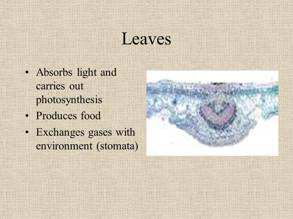 Leaves Absorbs light and carries out photosynthesis Produces food
