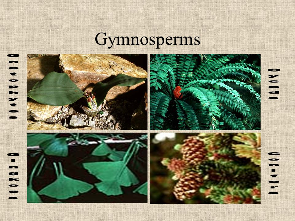 Gymnosperms Gnetophytes Gingkoes Cycads Conifers