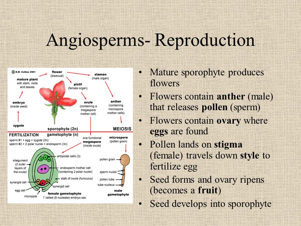 Angiosperms- Reproduction