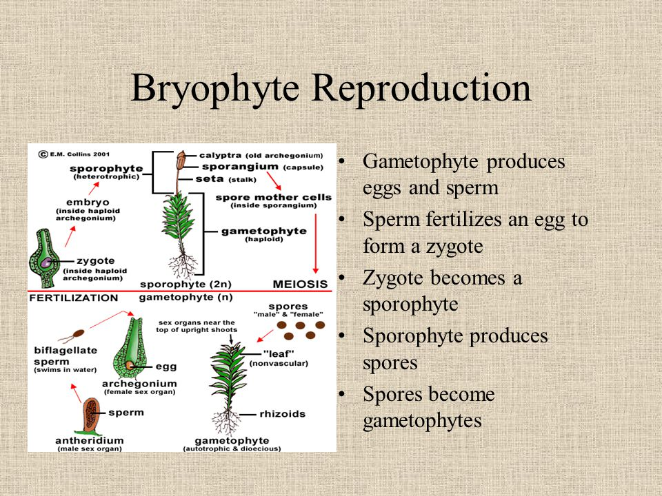 Bryophyte Reproduction