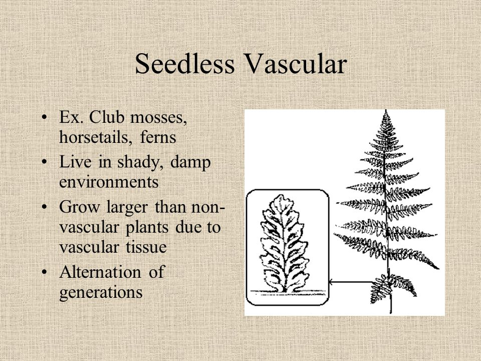 Seedless Vascular Ex. Club mosses, horsetails, ferns