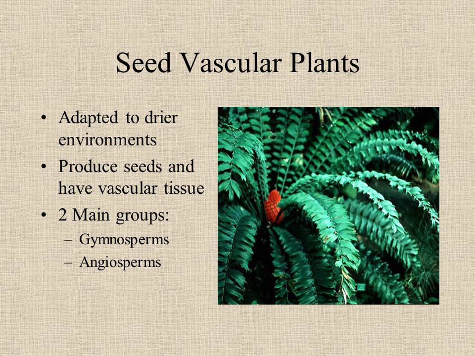 Seed Vascular Plants Adapted to drier environments