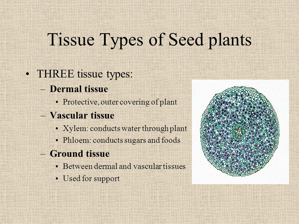 Tissue Types of Seed plants