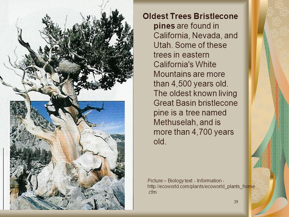 Oldest Trees Bristlecone pines are found in California, Nevada, and Utah. Some of these trees in eastern California s White Mountains are more than 4,500 years old. The oldest known living Great Basin bristlecone pine is a tree named Methuselah, and is more than 4,700 years old.