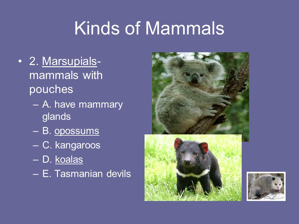 List of monotremes and marsupials