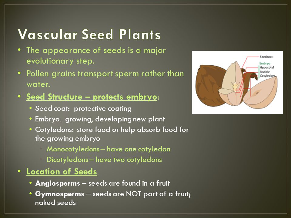 Vascular Seed Plants The appearance of seeds is a major evolutionary step. Pollen grains transport sperm rather than water.