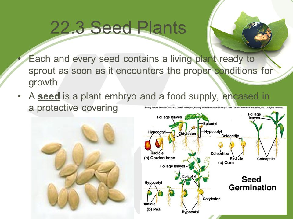 22.3 Seed Plants Each and every seed contains a living plant ready to sprout as soon as it encounters the proper conditions for growth.