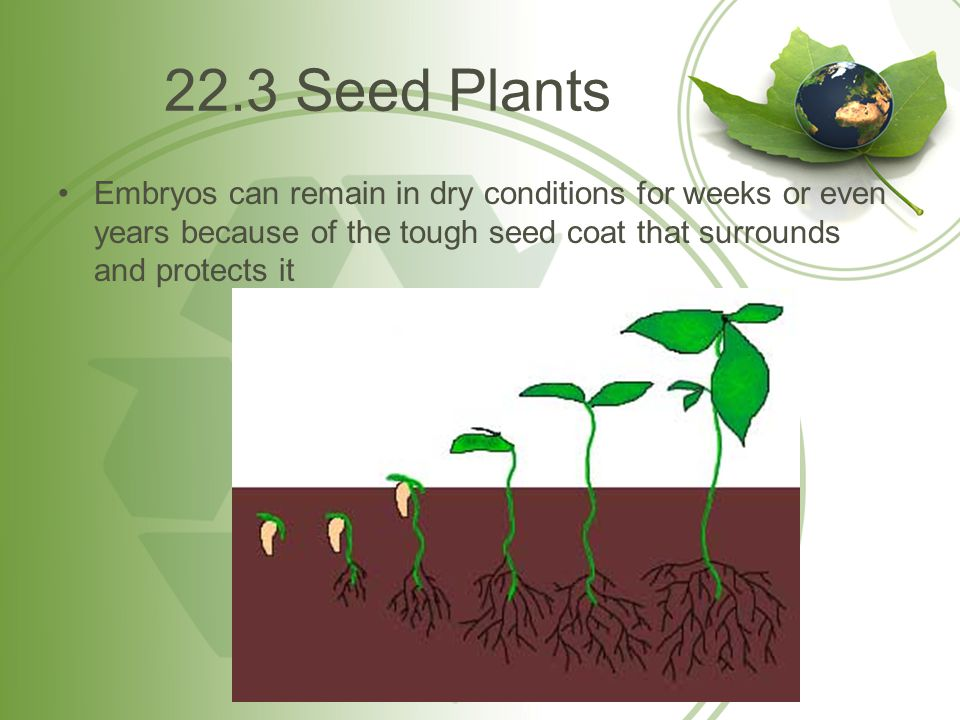 22.3 Seed Plants Embryos can remain in dry conditions for weeks or even years because of the tough seed coat that surrounds and protects it.