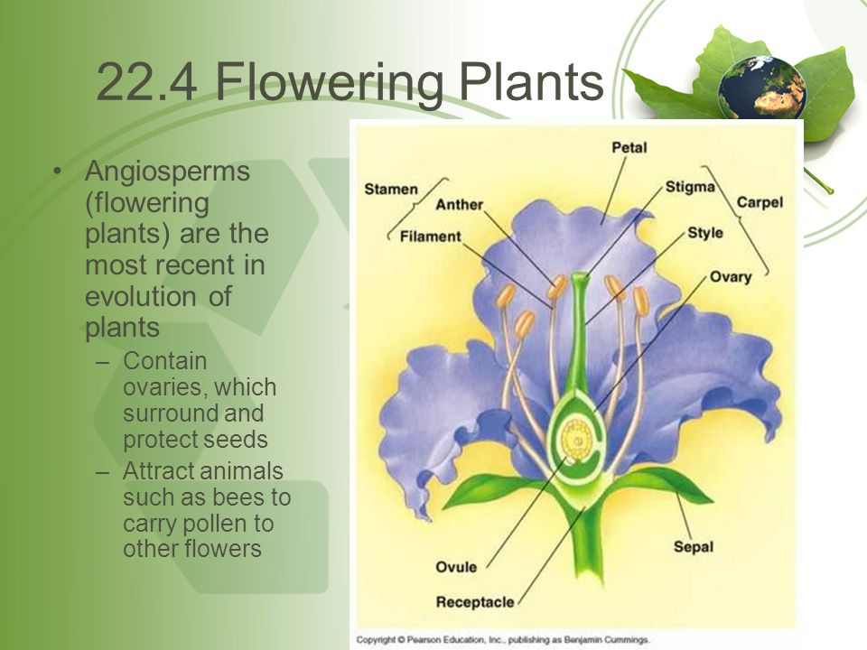 22.4 Flowering Plants Angiosperms (flowering plants) are the most recent in evolution of plants. Contain ovaries, which surround and protect seeds.