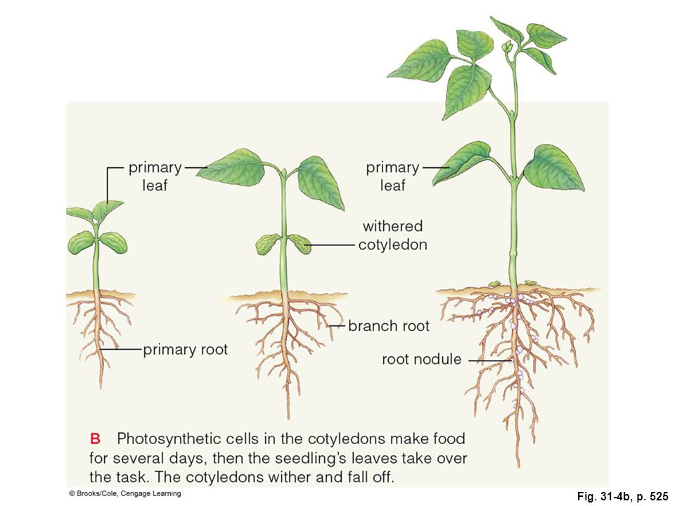 Plant Development Chapter 31 Part ppt video online download
