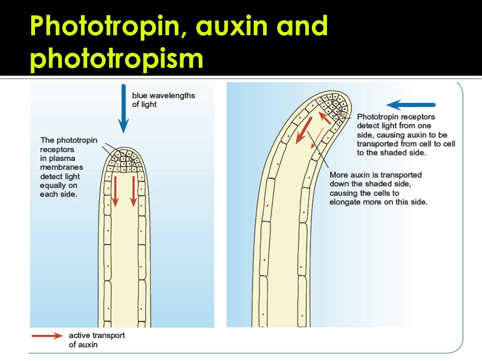 auxin in phototropism 917 explain the role of auxin in phototropism as an example of the control of  plant growth tropisms are directional movement responses which occur due to.