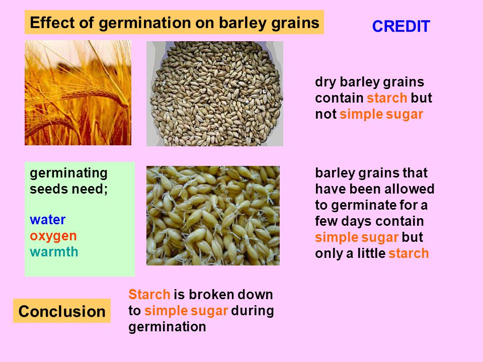 Effect of germination on barley grains CREDIT