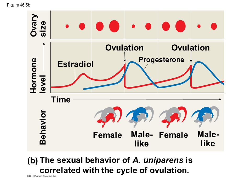 Effect of progesterone on sexual reproduction of