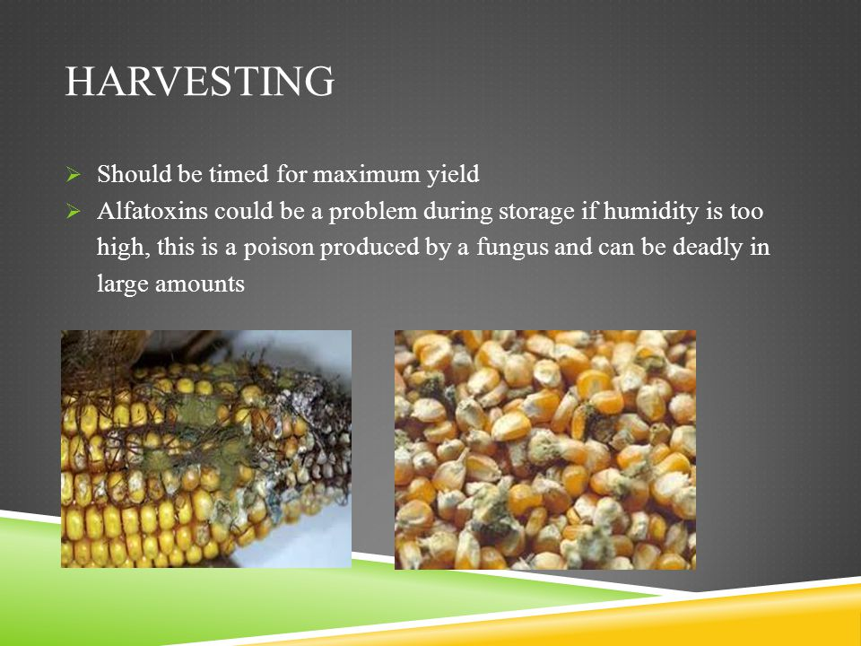 Harvesting Should be timed for maximum yield