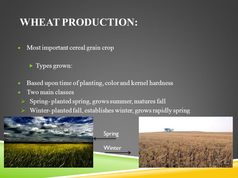 Wheat production: Most important cereal grain crop Types grown: