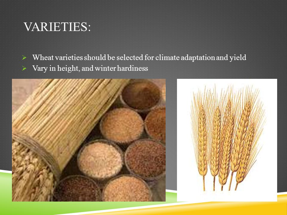 Varieties: Wheat varieties should be selected for climate adaptation and yield.