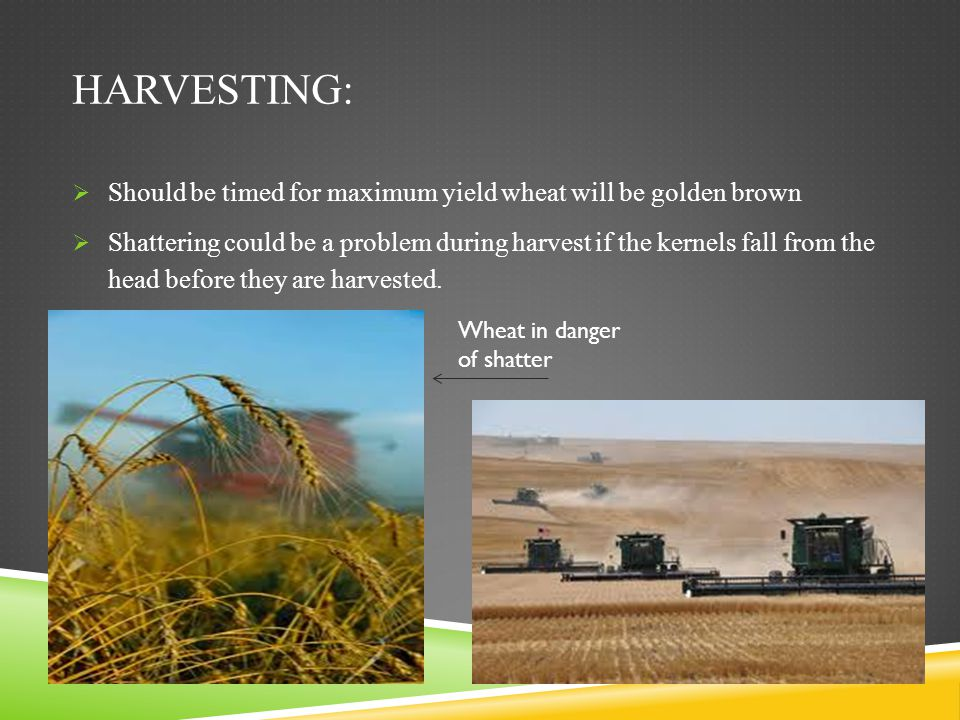 Harvesting: Should be timed for maximum yield wheat will be golden brown.