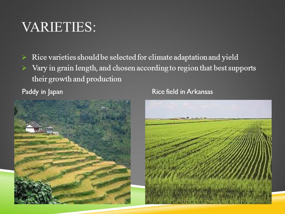 Varieties: Rice varieties should be selected for climate adaptation and yield.