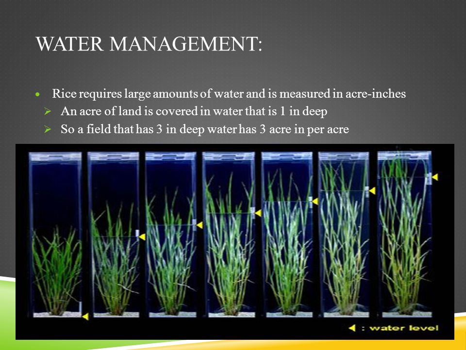 Water management: Rice requires large amounts of water and is measured in acre-inches. An acre of land is covered in water that is 1 in deep.