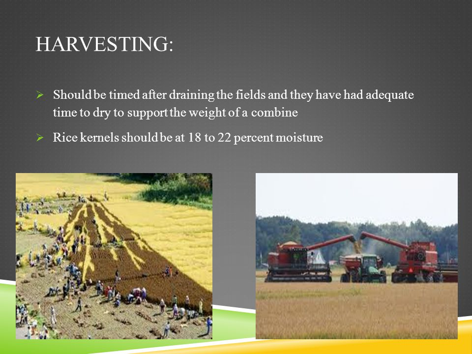 Harvesting: Should be timed after draining the fields and they have had adequate time to dry to support the weight of a combine.