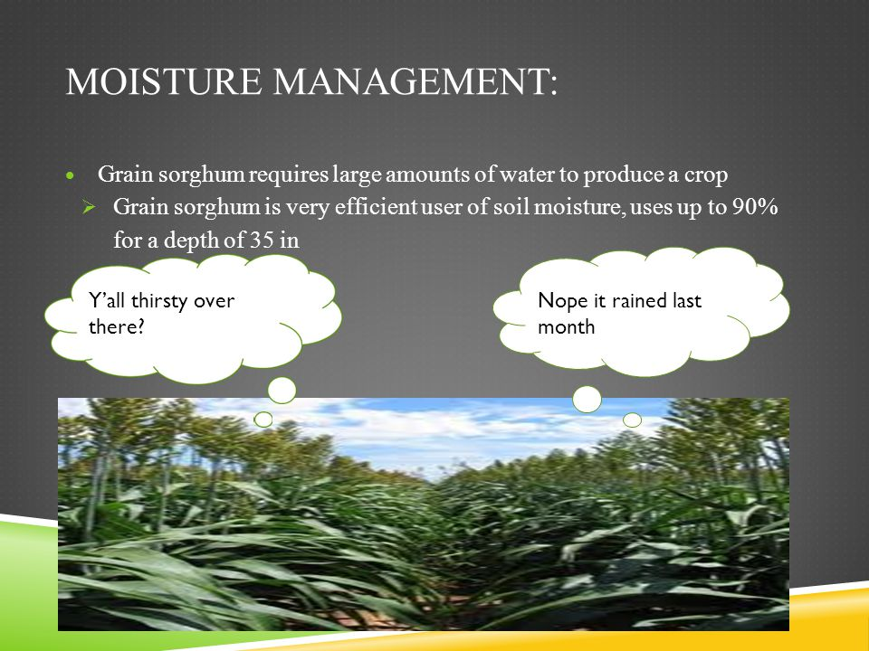 Moisture management: Grain sorghum requires large amounts of water to produce a crop.