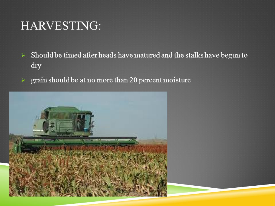 Harvesting: Should be timed after heads have matured and the stalks have begun to dry.