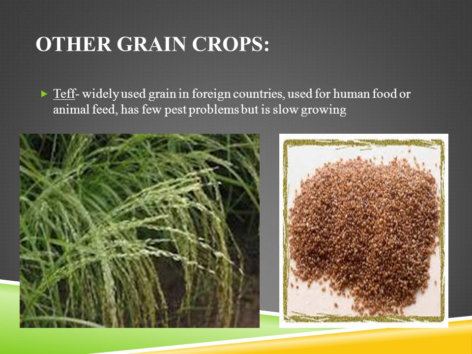 Other grain crops: Teff- widely used grain in foreign countries, used for human food or animal feed, has few pest problems but is slow growing.