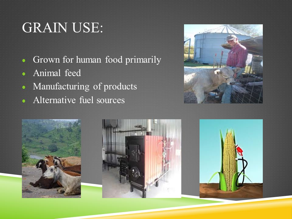 Grain use: Grown for human food primarily Animal feed