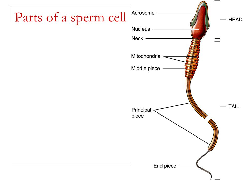 Funky Sperm Cell Anatomy Image Collection Human Anatomy Images
