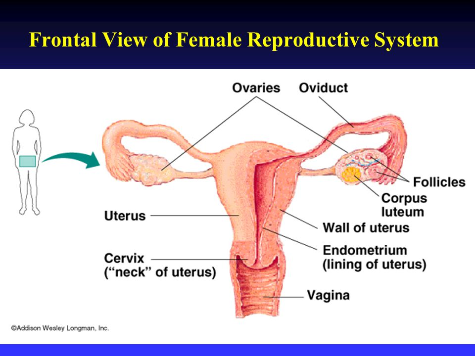 Amazing Female Reproductive Anatomy Video Ensign - Anatomy And ...