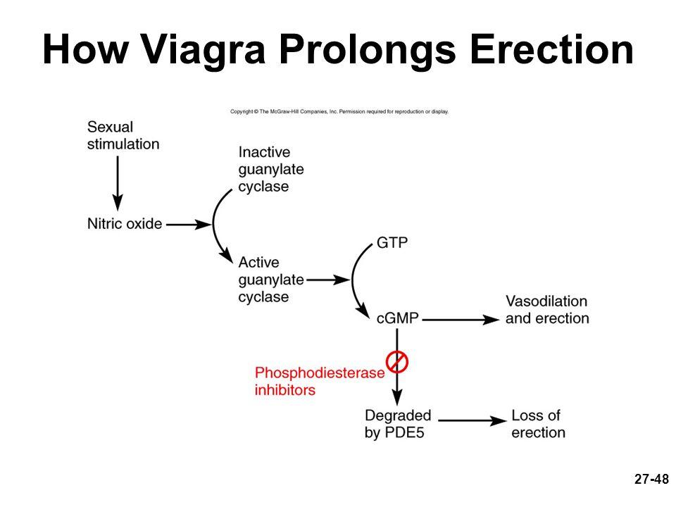 Sildenafil viagra prolongs erection by