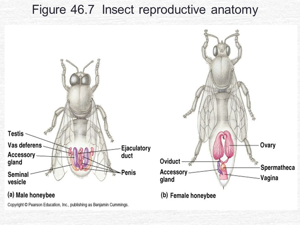 Animal reproduction chapter ppt video online download 18 figure 467 insect reproductive anatomy ccuart Image collections