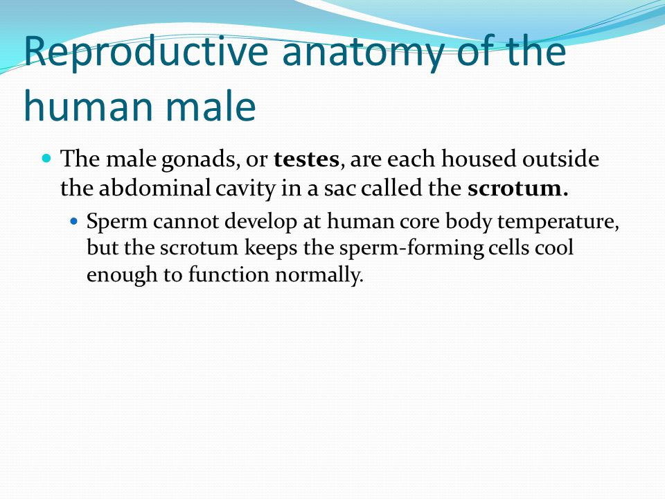 Reproductive anatomy of the human male