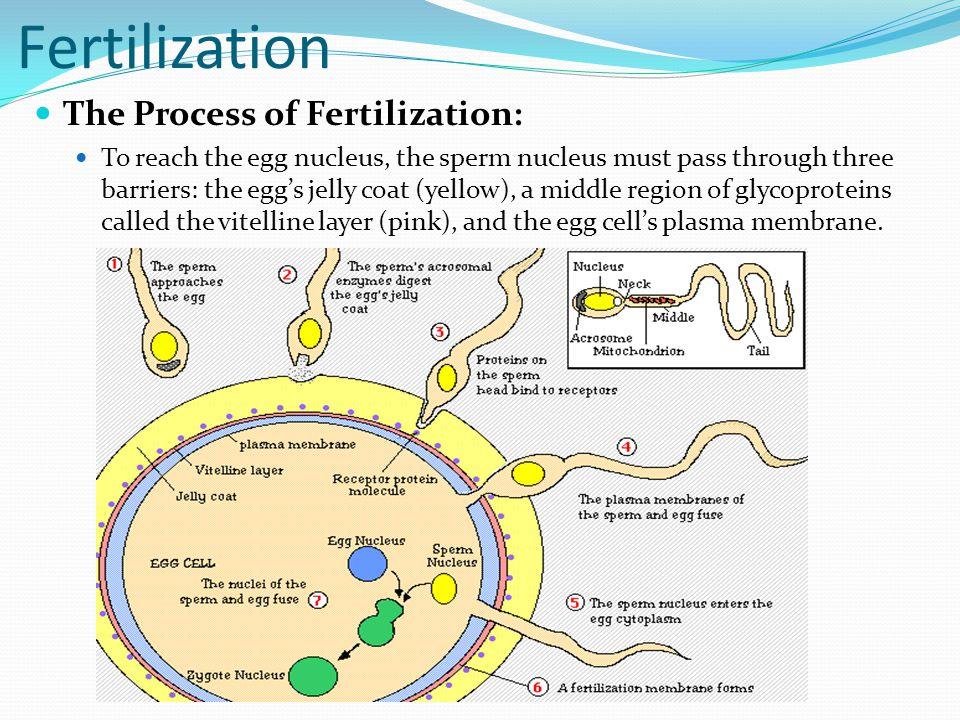 Fertilization The Process of Fertilization: