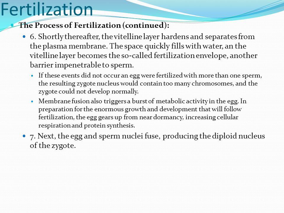 Fertilization The Process of Fertilization (continued):