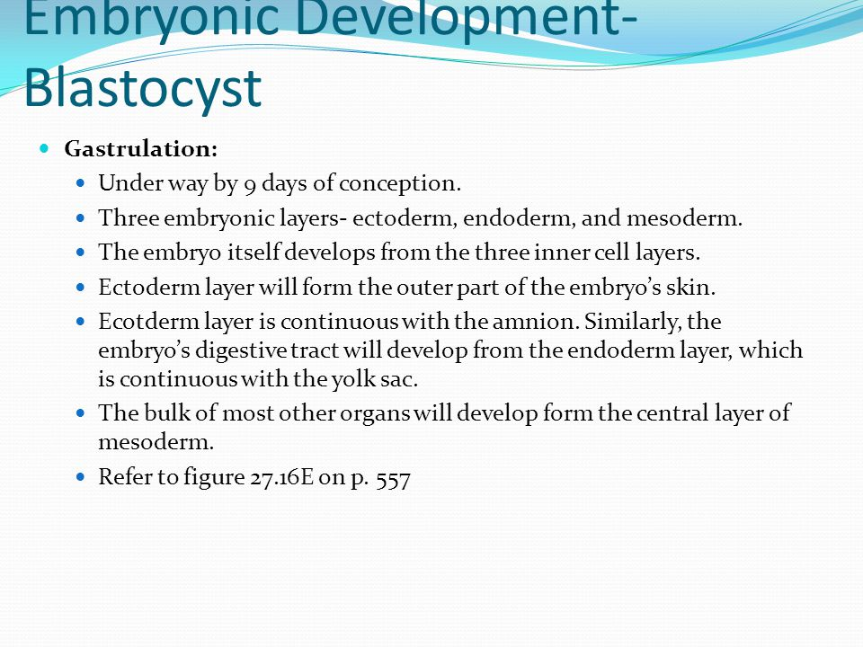 Embryonic Development- Blastocyst