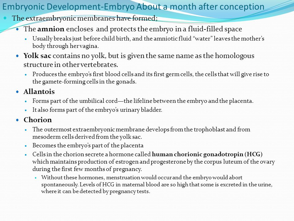 Embryonic Development-Embryo About a month after conception