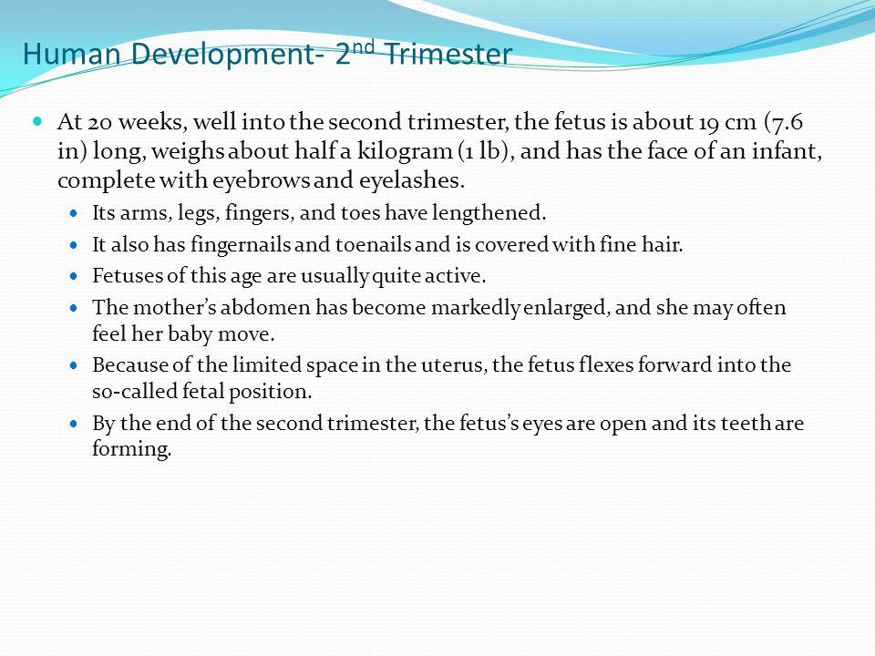 Human Development- 2nd Trimester