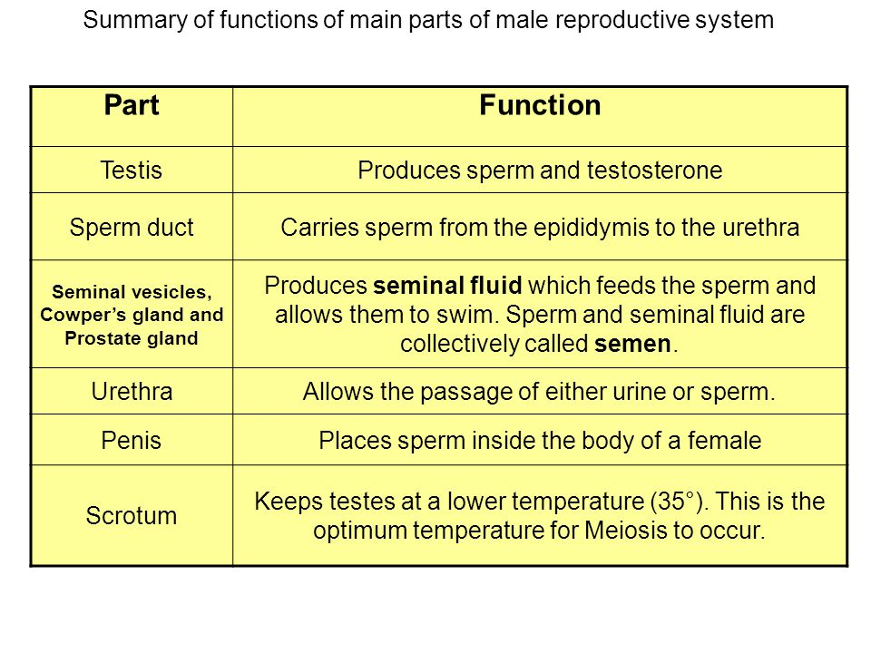 purpose of male reproductive system