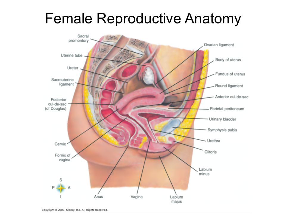 Female anatomy of reproductive system