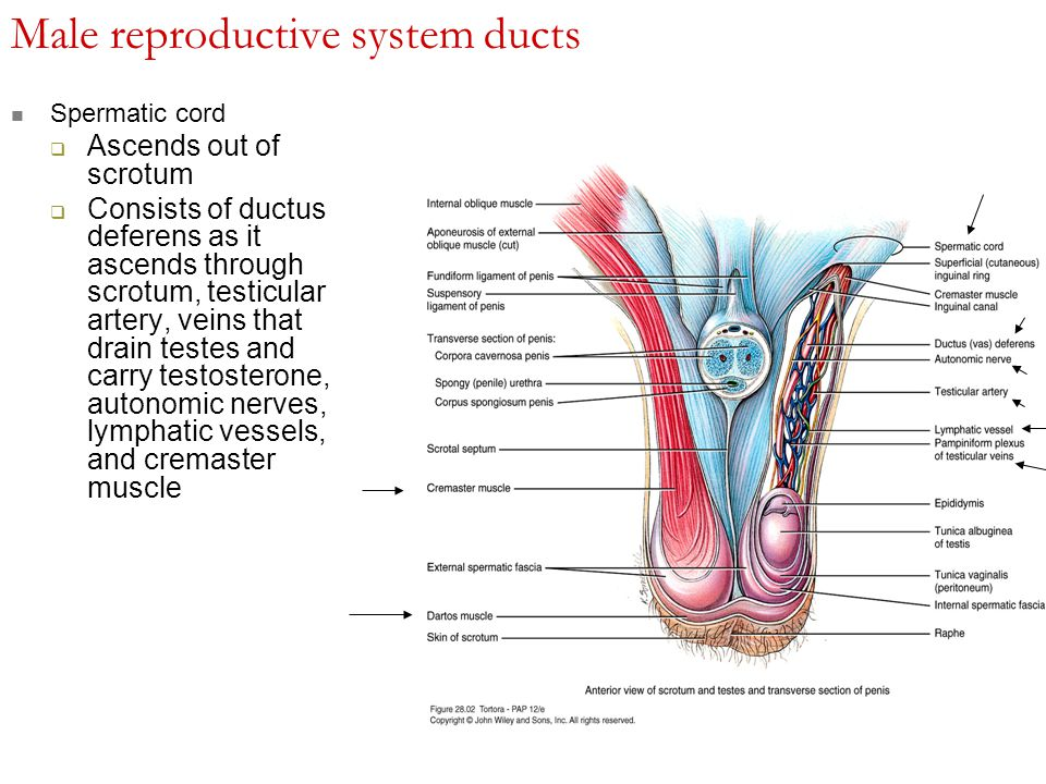 stimulate testosterone production