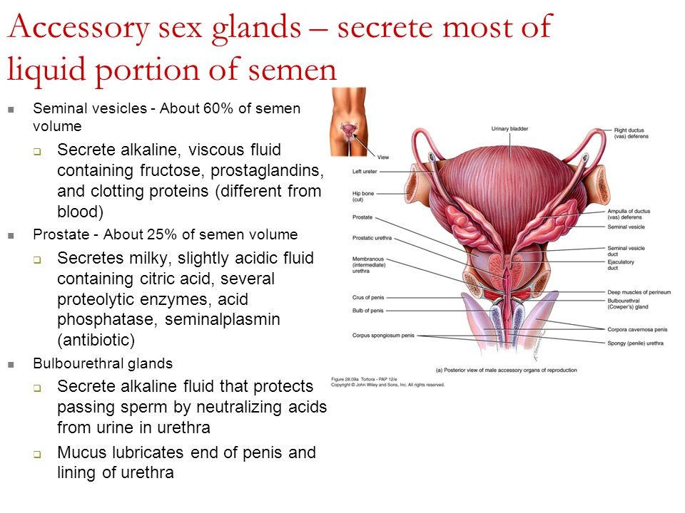 That ovum glands produce female the sex